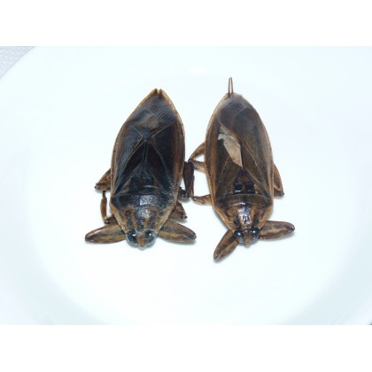 punaises d 39 eau scorpions d 39 eau insectes comestibles thailande insectes manger. Black Bedroom Furniture Sets. Home Design Ideas